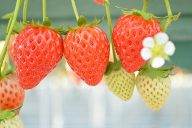 fraise00