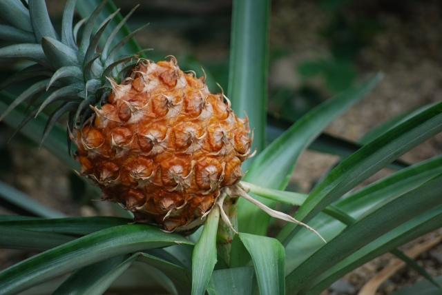 ananas0000